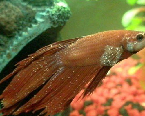 Самые распространенные болезни аквариумных рыбок