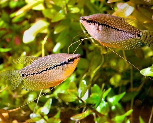 Популярные виды мирных аквариумных рыбок