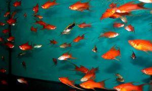 Размножение рыбок меченосцев в домашних условиях