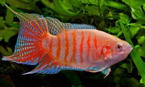 Виды рыбок которые могут жить без кислорода в аквариуме