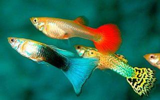 Сколько лет живут гуппи в природе и аквариуме
