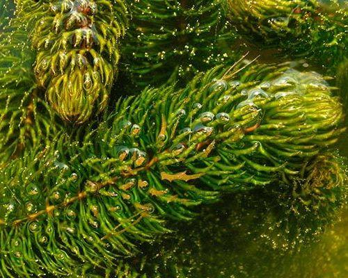 Растение роголистник: виды, содержание и разведение в аквариуме