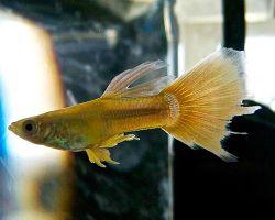 Симптомы и лечение плавниковой гнили у аквариумных рыбок