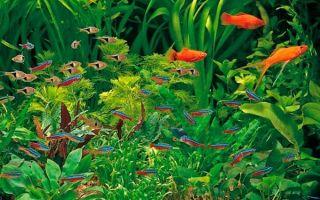 ТОП-10 аквариумных рыбок для начинающих