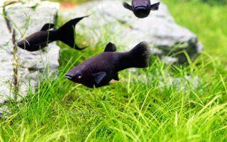 Популярные виды черных аквариумных рыбок
