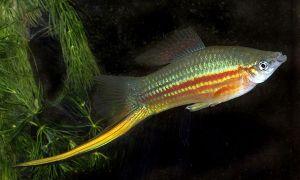 Уход и содержание аквариумных рыбок меченосцев