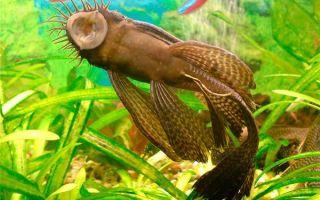 Чистильщики аквариума: рыбки, улитки, креветки