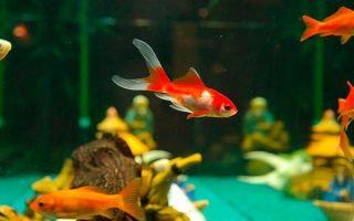 Сколько лет живут аквариумные рыбки