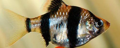 ТОП-10 полосатых аквариумных рыбок
