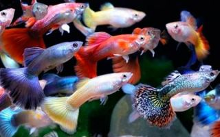 Самые популярные виды рыбок гуппи