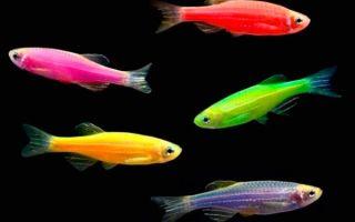 Данио глофиш — аквариумная иллюминация