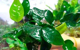 Популярные виды неприхотливых аквариумных растений