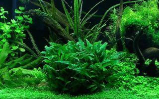 Криптокорина: аквариумное растение на любой вкус и цвет