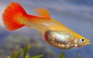 Все про беременность и роды рыбок гуппи