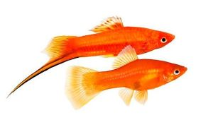 Как отличить самку рыбки меченосца от самца