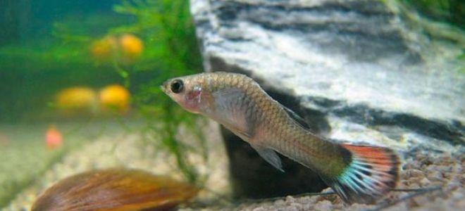 Самые распространенные болезни рыбок гуппи