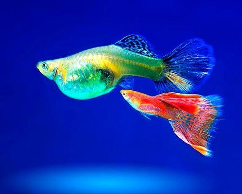 Уход и содержание аквариумных рыбок гуппи