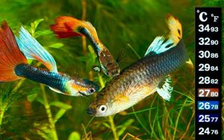 Оптимальная температура воды для рыбок в аквариуме