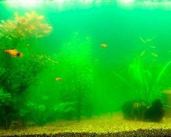 Почему зеленеет вода в домашнем аквариуме