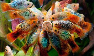 Как и сколько раз в день кормить аквариумных рыбок
