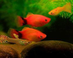 ТОП-10 живородящих аквариумных рыбок