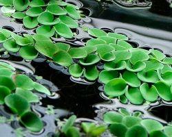 Популярные виды плавающих аквариумных растений