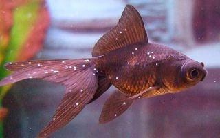 Лечение манки (ихтиофтириоза) у аквариумных рыбок