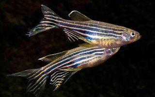 Размножение рыбок данио для начинающих