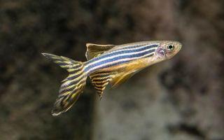 Аквариумная рыбка данио-рерио: виды, уход и содержание