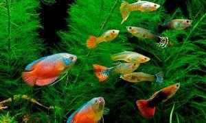 Какие виды рыбок могут жить вместе с гуппи в одном аквариуме