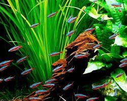 Популярные виды стайных аквариумных рыбок