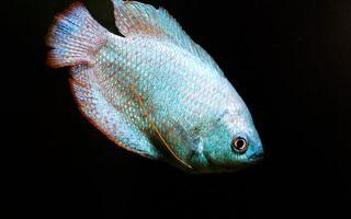 Виды лабиринтовых рыбок для домашнего аквариума