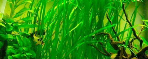 Содержание и виды аквариумного растения валлиснерия