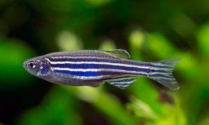 Уход и содержание рыбок данио в аквариуме