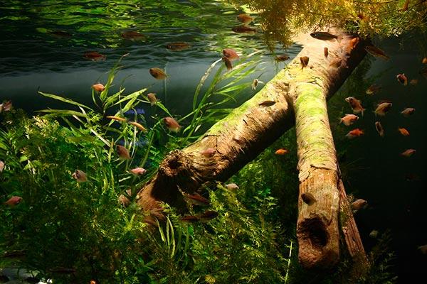 Коряга в аквариуме