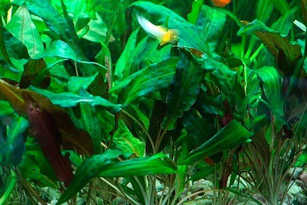 криптокорина растение