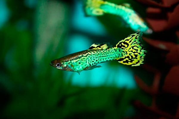 Гуппи Зеленая кобра