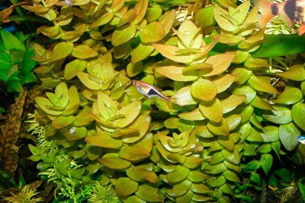 растение каролинская бакопа