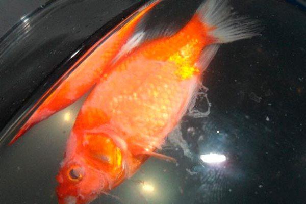 мертвая рыбка