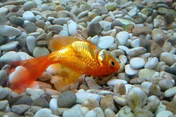 рыбка умерла