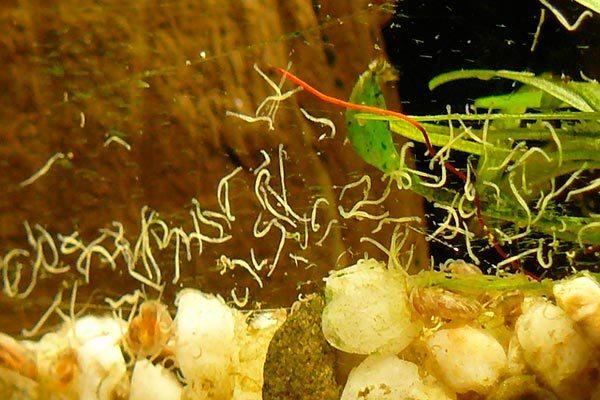 Нематоды в аквариуме