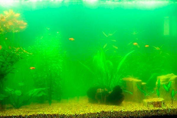Зеленый налет в аквариуме